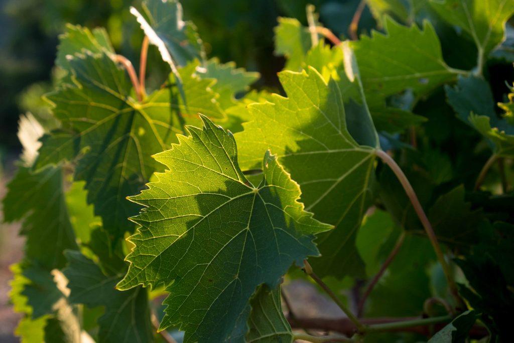 foglie-vite-chianti-sangiovese