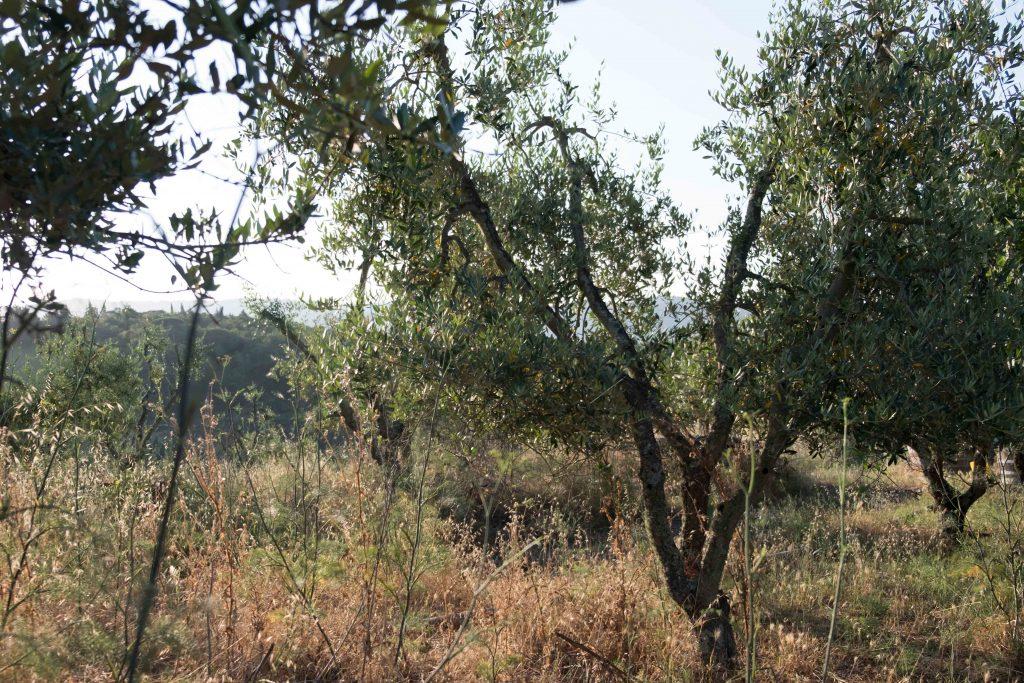 ulivi-leccino-chianti-pruneto